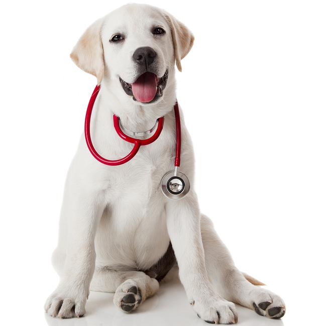 dog with a stethoscope around its neck for diagnostic services in Greenfield